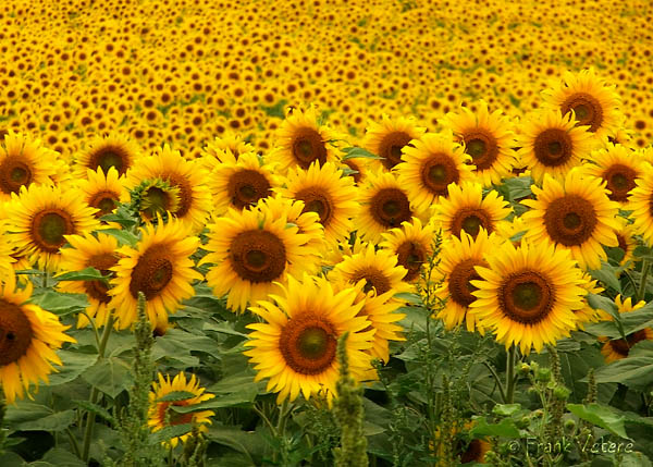 Sunflower Field 2