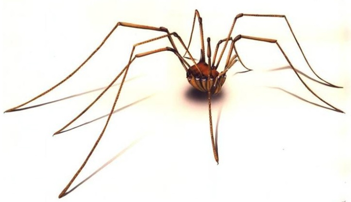 """La araña """"papaíto piernas largas"""" que en mi rancho se conoce como """"araña patona"""""""